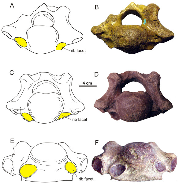Asymmetrical transitional cervico-thoracic vertebrae of the woolly rhinoceros (Coelodonta antiquitatis).