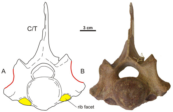 Anterior view of an asymmetrical transitional cervico-thoracic vertebra of the woolly rhinoceros.