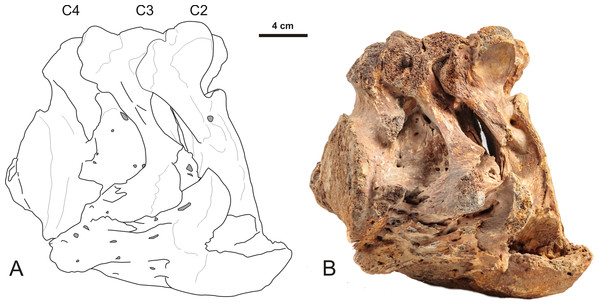 Lateral view of a partially fused 2nd, 3rd and 4th cervical vertebra of a Late Pleistocene woolly mammoth from the North Sea with bone overgrowth originating from the intervertebral disk.