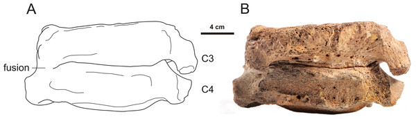 Lateral view of a 3rd and 4th cervical vertebra of the woolly mammoth (Late Pleistocene, North Sea).