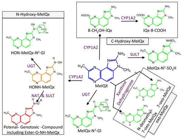 Global MeIQx Metabolism pathway (Langouët et al., 2001).