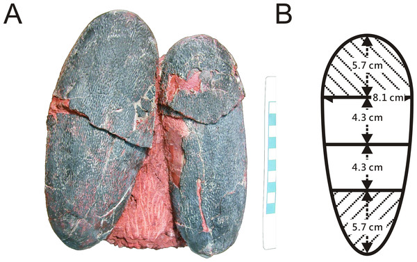 (A) Pair of oviraptorid Heyuannia eggs (NMNS CYN-2004-DINO-05) from the Chinese province of Jiangxi before sampling. Porosity measurements and calculations of water vapor conductance are based on these eggs. Pieces of eggshell from each of the four zones depicted in (B) were used in porosity measurements. (B) Egg model separated into four zones used for zonal porosity measurements.