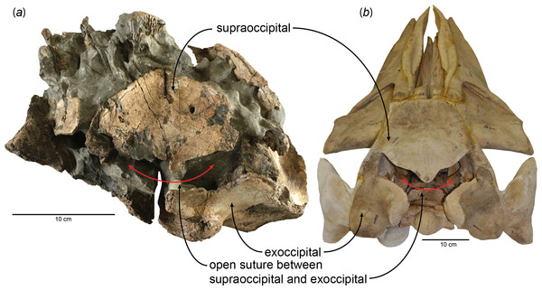 Open suture between the supraoccipital and exoccipital in (A) a fossil baleen whale, HMN- F00127 (Parietobalaena yamaokai) and (B) a fetal specimen of blue whale, Balaenoptera musculus (USNM 268001).