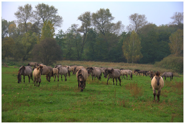 The Polish Primitive Horse herd (Kobylniki national stud, Wielkopolska, Poland.