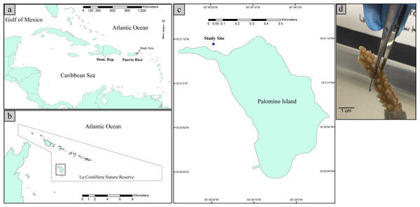 Map illustrating the geographic position of Puerto Rico in the Caribbean Basin (A). Map illustrating the study site with respect to La Cordillera Natural Reserve (B). Map illustrating the sampling site with respect to Palomino Island (18°21′10.8″N 65°34′24.4″W) (C). Picture of a collected fragment of Acropora cervicornis prior to DNA extraction (D).