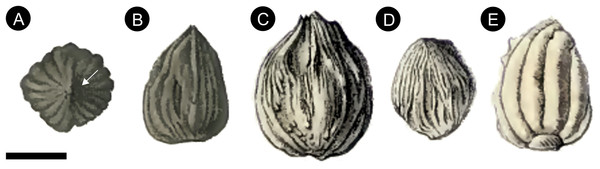 Original pen and ink drawings of Cycadeospermum ovules from Saporta (1875, 1891).