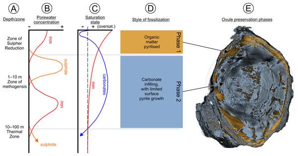Fossilization phase diagram.