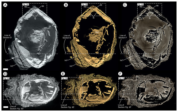 Virtual 25 μm thin-sections showing gross morphology and anatomy of BU 5265.1 created from the Drishti volume rendered three-dimensional model.