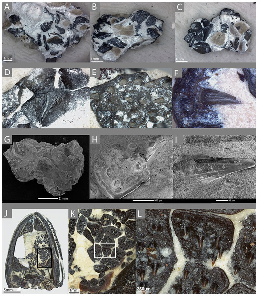 The external morphology of the palatal plates in the sampled specimen (ROM 76838) and Pasawioops.