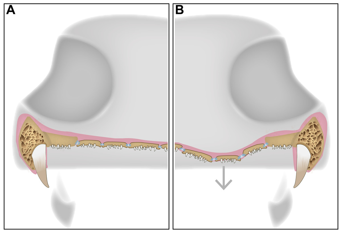 Image A shows the soft palate at rest, and image B represents the palate while feeding.