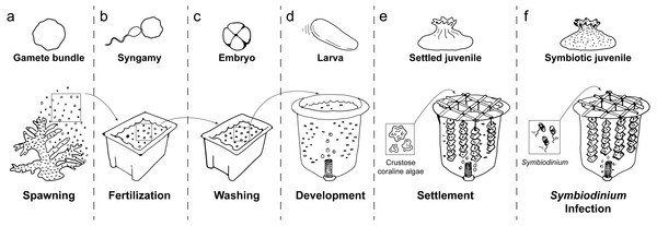 Schematic of coral rearing process.