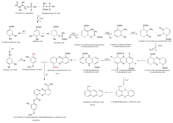 The proposed mechanism of phenazine biosynthesis in S. kebangsaanensis.