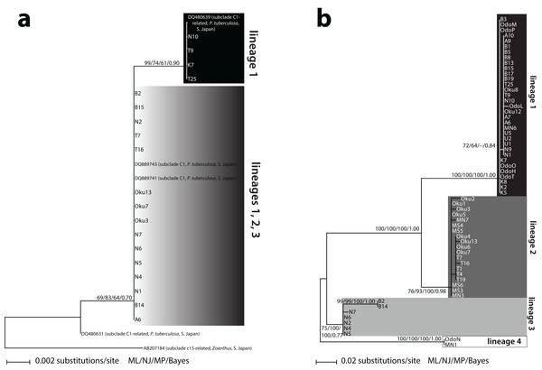 Phylogenies of clade C Symbiodinium isolated from Palythoa tuberculosa around Okinawa-jima Island and Amami Oshima Island, Japan.