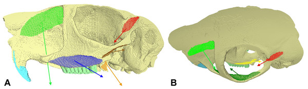 FE model showing muscle attachment sites and vectors.