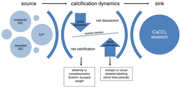Conceptual framework of calcification in isolated coral colonies.