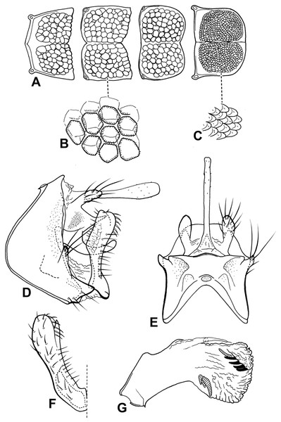 Male genitalia of Oecetis plenuspinosa n. sp.
