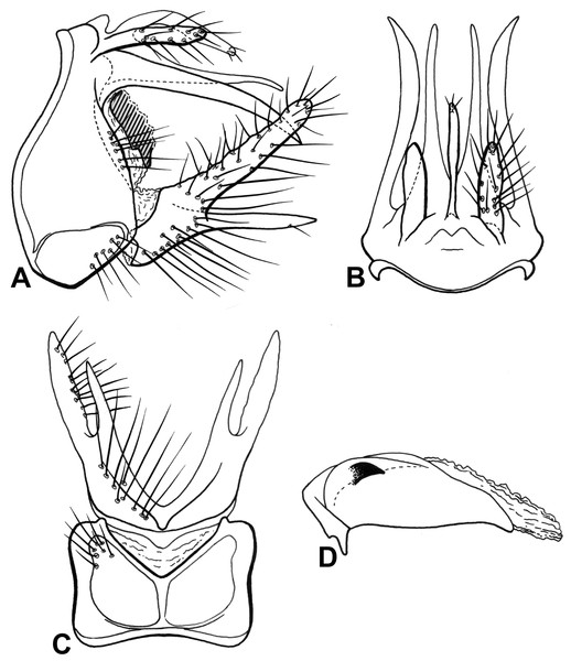 Male genitalia of Oecetis machaera n. sp.