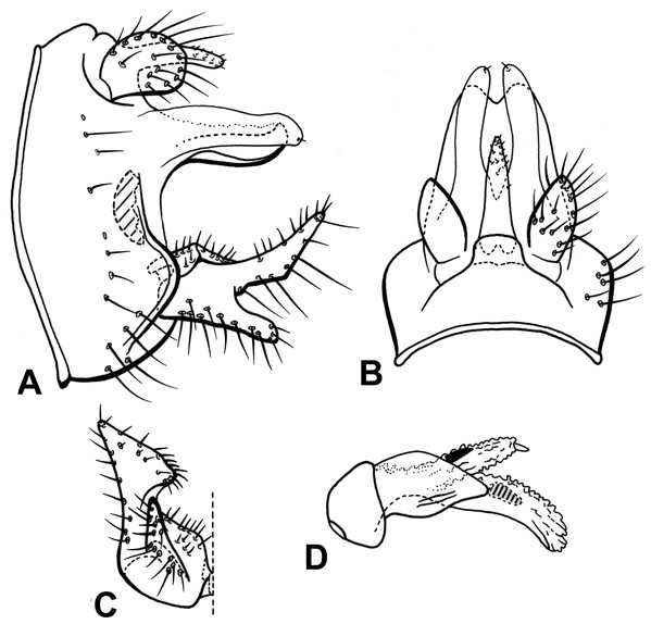 Male genitalia of Oecetis blahniki n. sp.