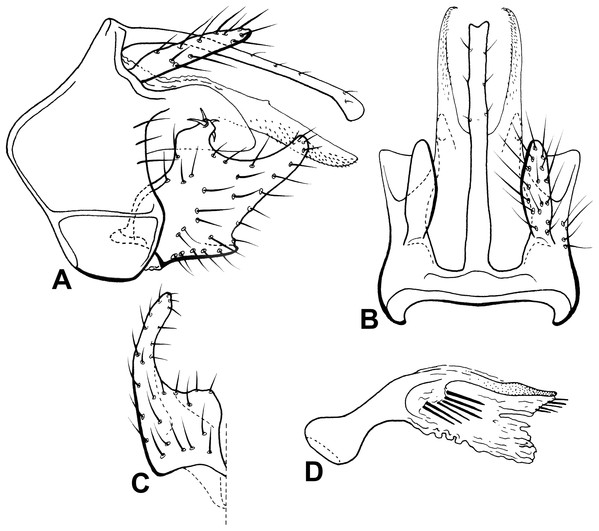 Male genitalia of Oecetis pertica n. sp.