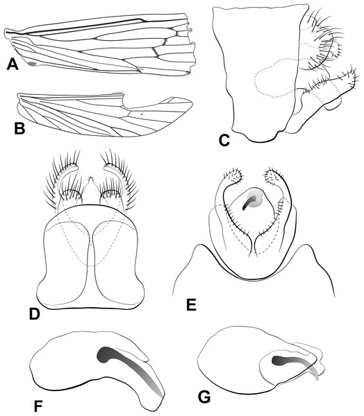 Male genitalia of Oecetis flinti n. sp.