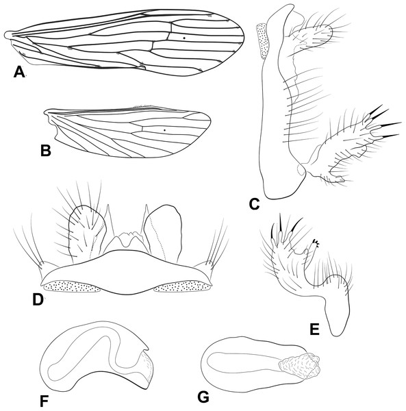 Male genitalia of Oecetis punctata (Navás, 1924).