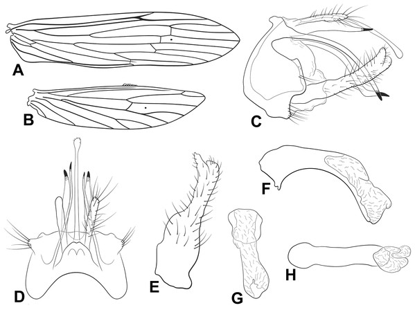 Male genitalia of Oecetis hastapulla n. sp.
