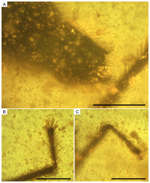 Photomicrographs of the allotype of Glaesivelia pulcherrima gen. et sp. n., male, MCNA 12805.