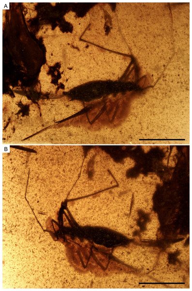 Photomicrographs of the holotype of Iberovelia quisquilia gen. et sp. n., female, MCNA 12804.