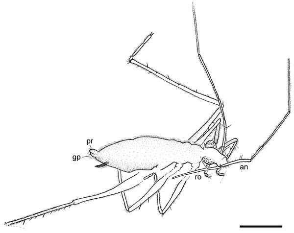 Camera lucida drawing of the holotype of Iberovelia quisquilia gen. et sp. n., female, MCNA 12804, in the dorso-lateral habitus.