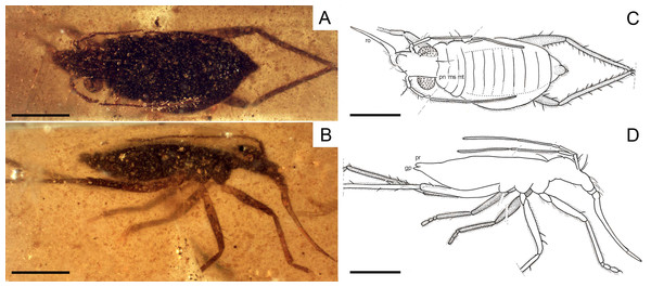 Photomicrographs and camera lucida drawings of the holotype of Glaesivelia pulcherrima gen. et sp. n., female, MCNA 12806.