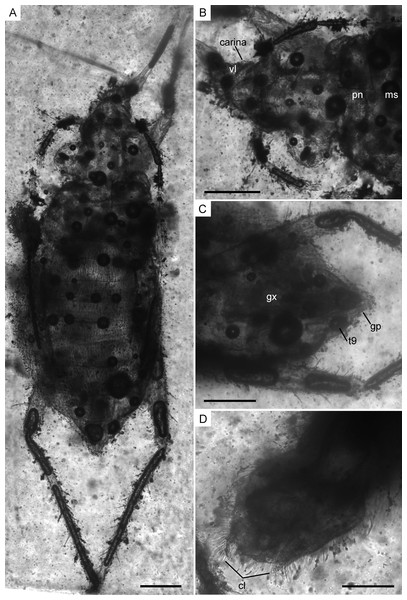 Infrared reflected photomicrographs of the holotype, female (MCNA 12806), and allotype, male (MCNA 12805), of Glaesivelia pulcherrima gen. et sp. n.
