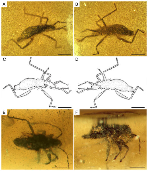 Photomicrographs and camera lucida drawings of the males of Glaesivelia pulcherrima gen. et sp. n