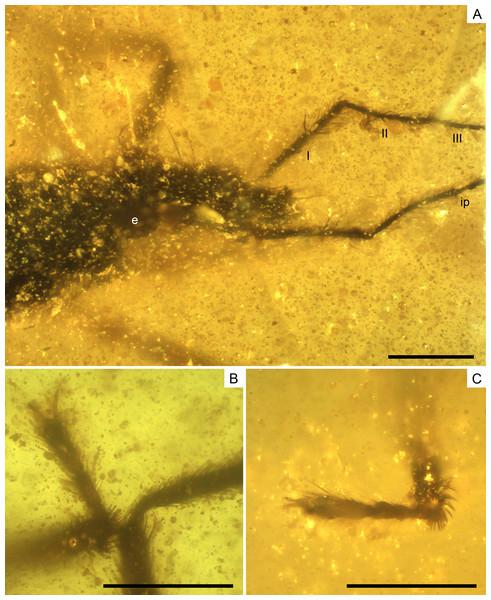 Photomicrographs of the allotype of Glaesivelia pulcherrima gen. et sp. n., male, MCNA 12805.