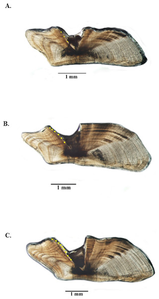 Photographs of jolthead porgy otolith sections.
