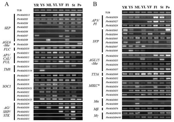 Expression patterns of pear MADS-box genes in vegetative and reproductive organs.