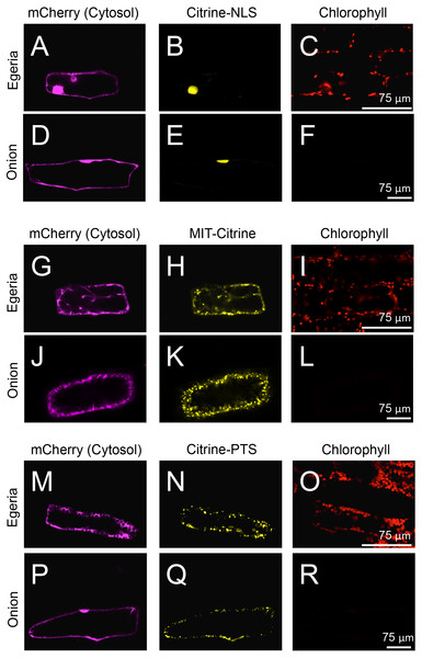 Transient expression of Citrine-NLS, MIT-Citrine, or Citrine-PTS in onion and Egeria cells.