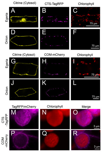 Transient expression of CTS-TagRFP or COM-mCherry in onion and Egeria cells.