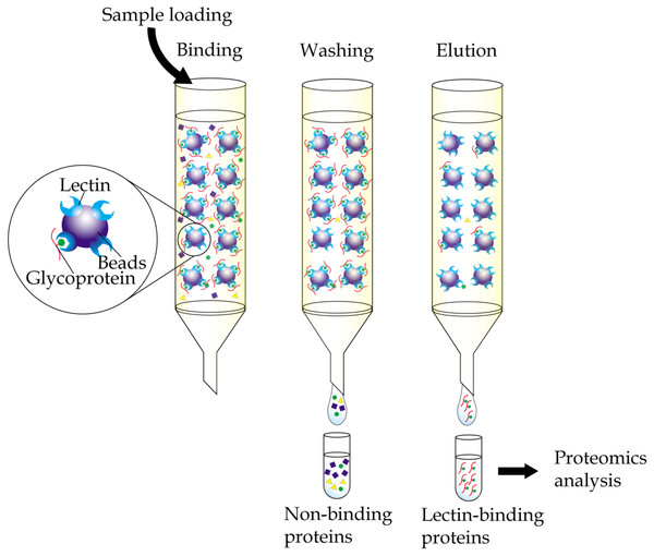 General workflow of immobilized-lectin affinity chromatography.