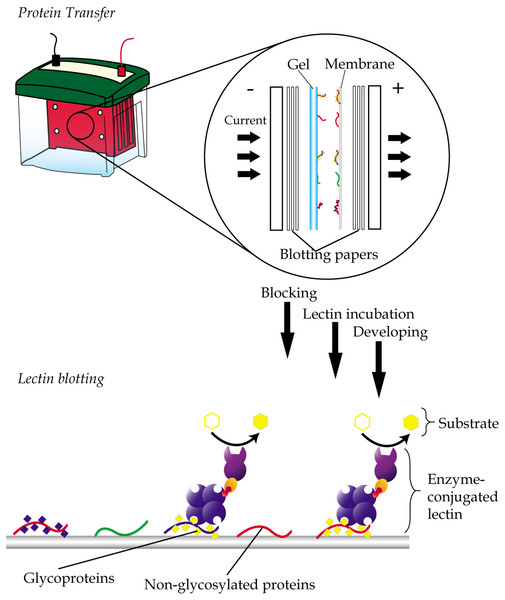 General workflow of lectin blotting.