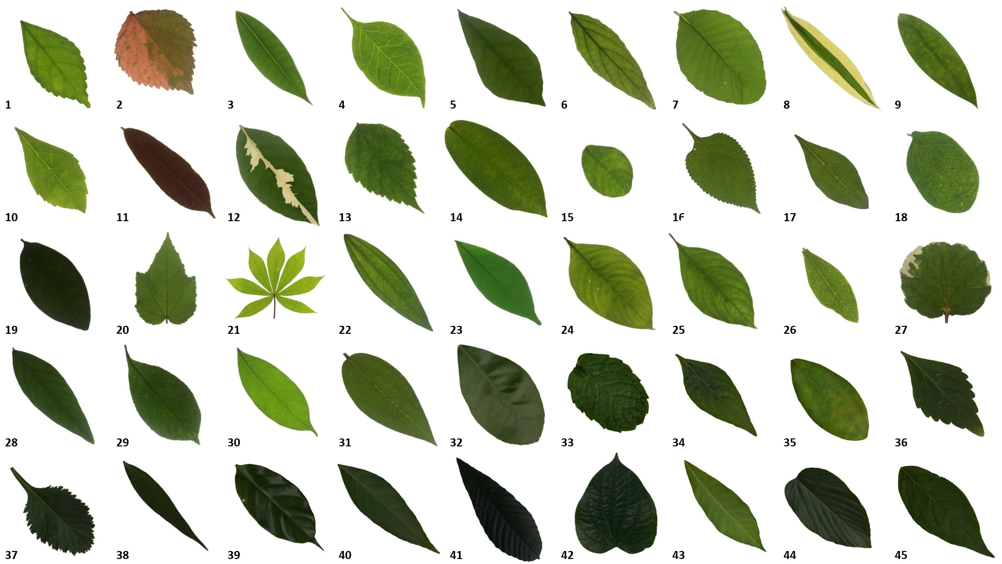 Automated classification of tropical shrub species: a hybrid of leaf