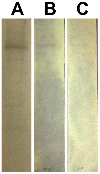 Western blot assay for peptides binding to rPvAMA1.