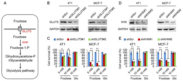 Fructose metabolism is required for its role in supporting cancer cell proliferation.