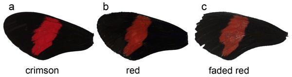 Forewings of Heliconius melpomene rosina.