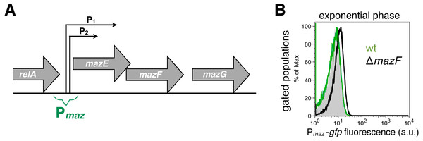 Strong and weak repression of the mazEF transcription.