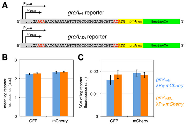 grcA reporters constructed to infer MazF-mediated mRNA processing.