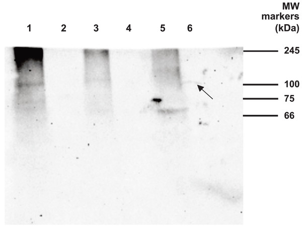 Western blot analysis of Drosophila embryo material.