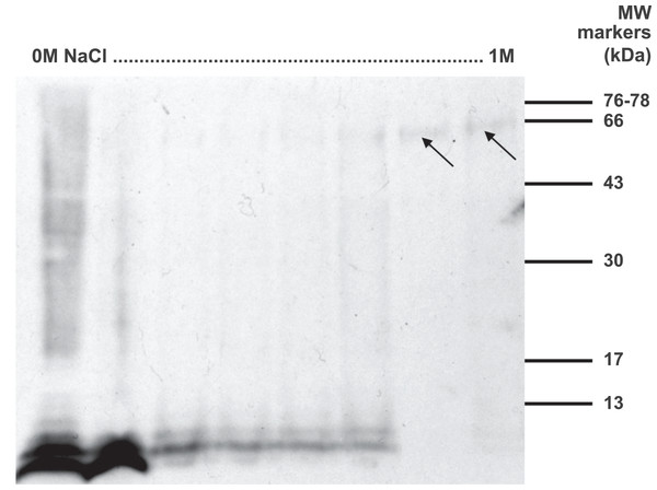 Western blot of anionic exchange chromatography fractions of rat hypothalamus extract.