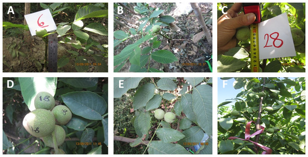 """Nuts observed on the """"Early Mature"""" Persian walnut seedlings obtained in the third year of cultivation."""