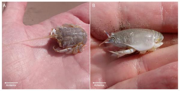Digging crab species.