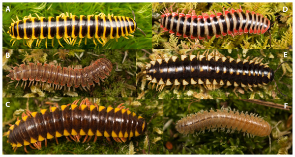 Photographs of various xystodesmid species showing a variety of color patterns.